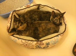 Robin and Lisa G (of Ehlers Lane Kit-Teens fame) were spayed by Planned Pethood and adopted - together! - on 12/13.