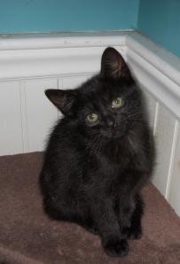 Baby Black Kitten